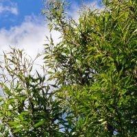 Fagus Aspleniifolia