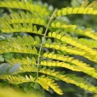 Gleditsia triacanthos 'Sunburst' blad