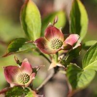 Cornus Stellar Pink beginstadium bloem