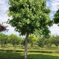 Amberboom grillige vorm