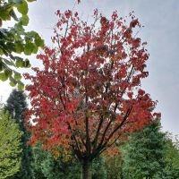 Prunus 'Rancho'