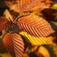 Carpinus betulus herfst