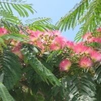 Albizia Julibrissin bloei
