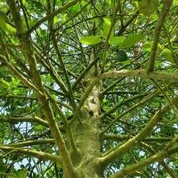 Ilex aquifolium 'Limsi' kijkje in de kroon