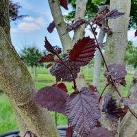 Intens donkerrood blad Corylus maxima purpurea meerstam