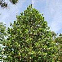 Ilex aquifolium 'Limsi' kroon