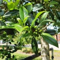 Ilex aquifolium 'Limsi'