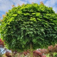 Acer platanoides 'Globosum'. bolesdoorn