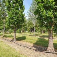 Quercus robur 'Fastigiata', zuileiken