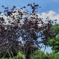 Corylus maxima purpurea meerstam