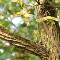 Acer campestre takken en zaadvleugeltjes