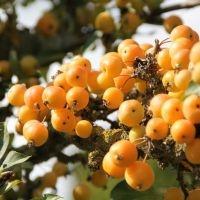 Golden hornet appeltjes