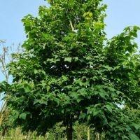 Liquidambar formosana var. monticola