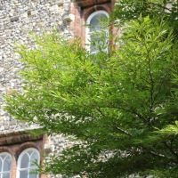 Fagus Aspleniifolia sfeer