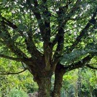 Acer campestre als parasolboom en vogelboom