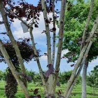 Corylus maxima purpurea stammen
