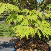 Japanse esdoorn 'Aconitifolium