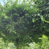Exclusieve bomen van Ten Hoven Bomen