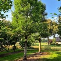 Robinia pseudoacacia exemplaar Zuid