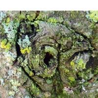 Tilia cordata met ruige eco stam voor insecten