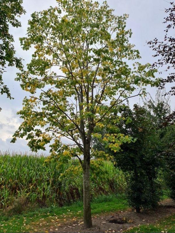 De zilverlinde als natuurlijke ruige inheemse boom