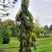 Pinus strobus 'pendula'  in oktober rui