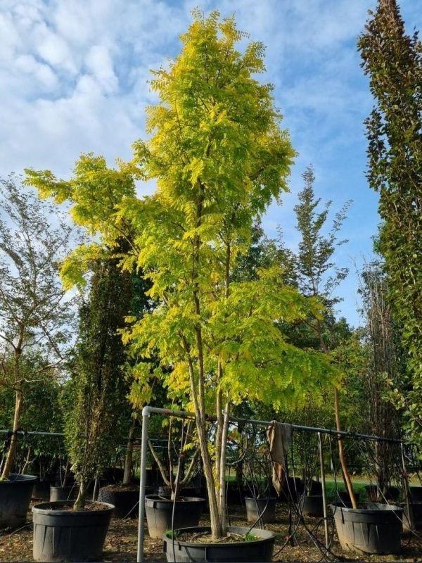 Meerstammige gele Acacia