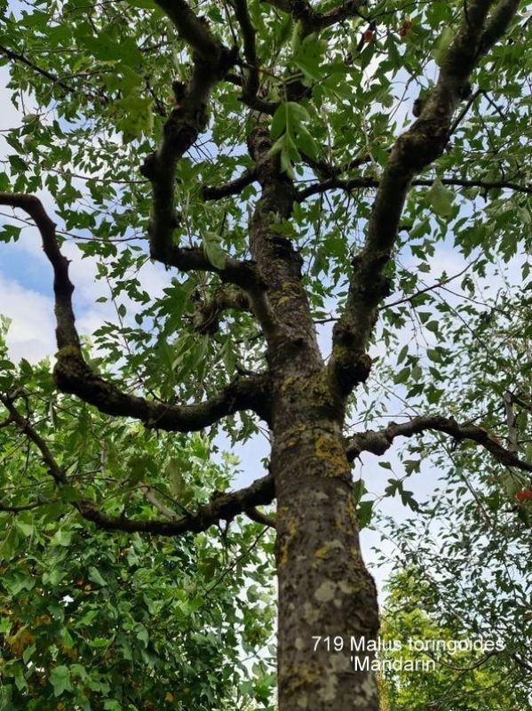 Grijsgroen bladig sierappeltje