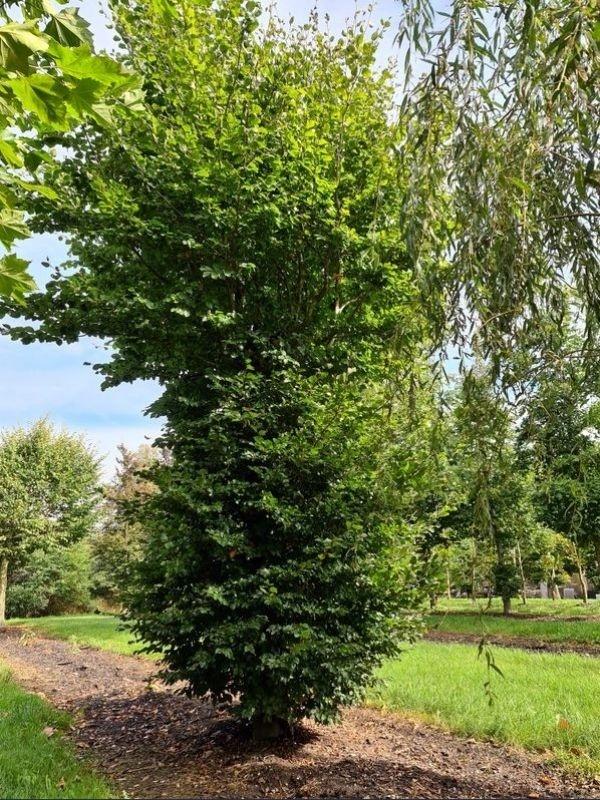 Fagus sylvatica vogelboom met dikke stam