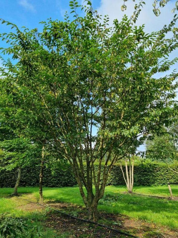 Carpinus japonica struikvorm
