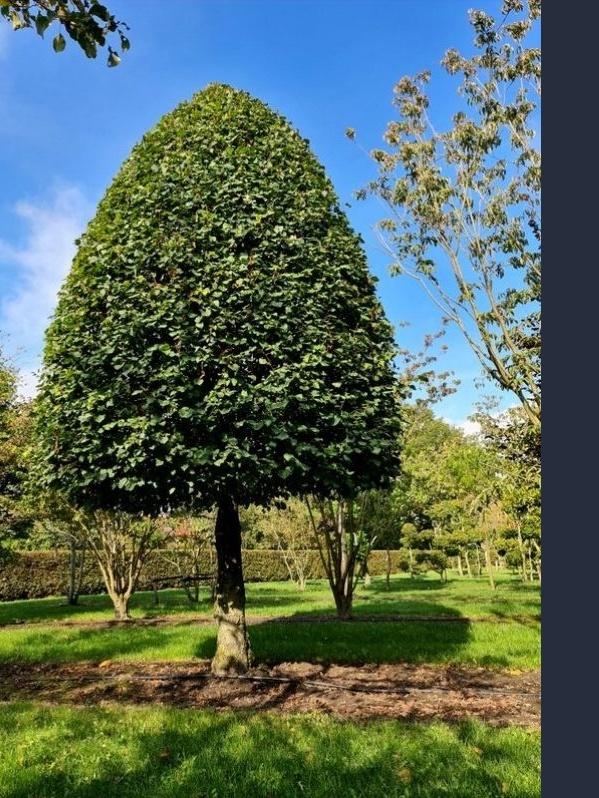 Kegelvormige winterlinde op 150 cm stam