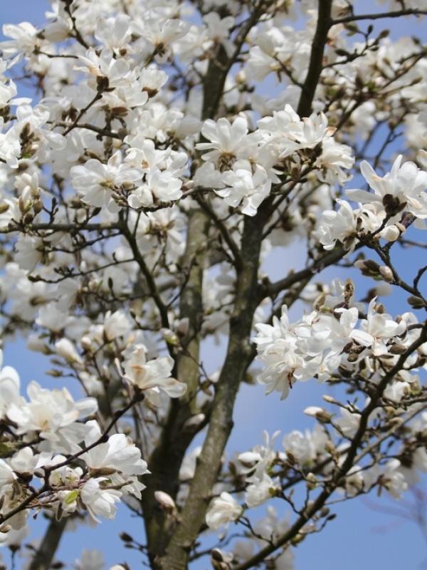 Magnolia kobus, kleine boom