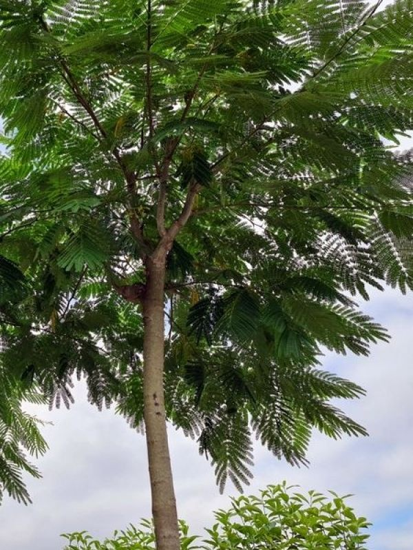 Albizia Julibrissin  organische parasolvorm