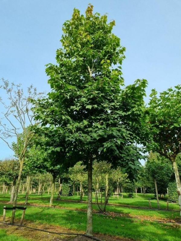 Taiwanese Amberboom
