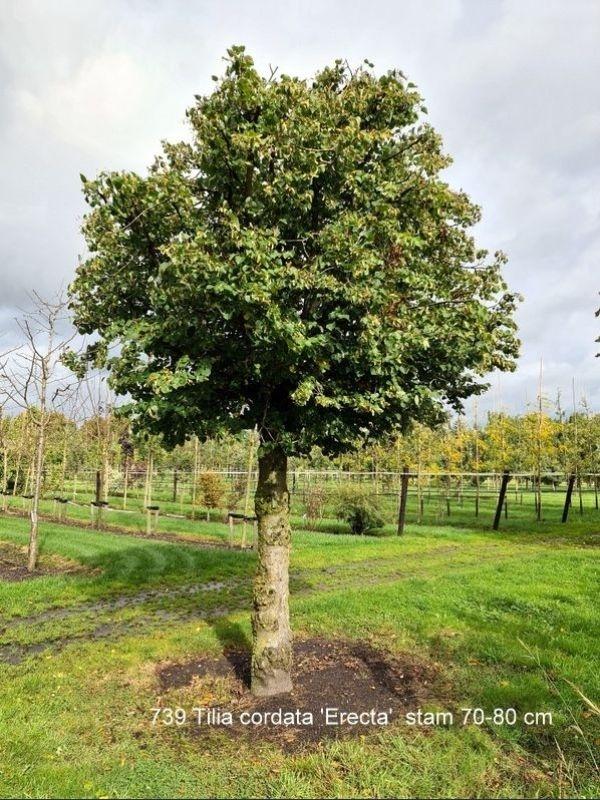 Tilia cordata 'Erecta'  als bolvormige boom