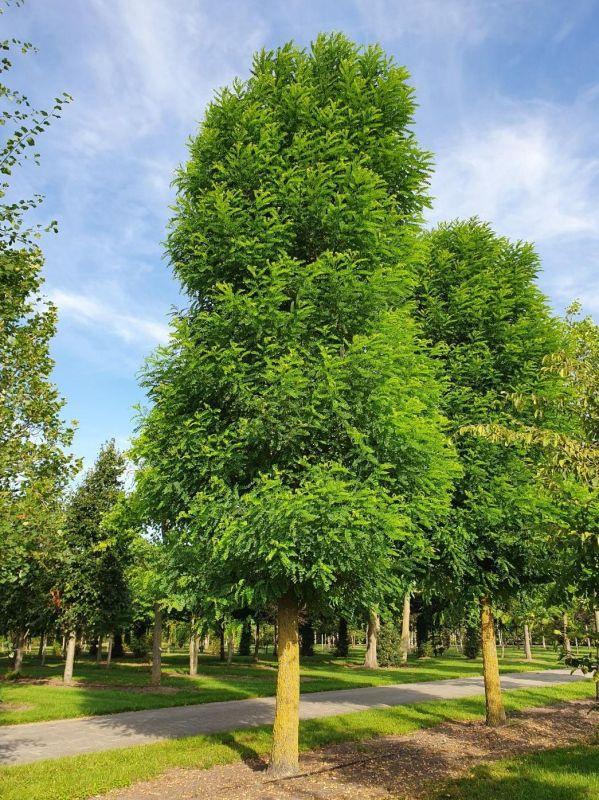 Robinia pseudoacacia 'Bessoniana'